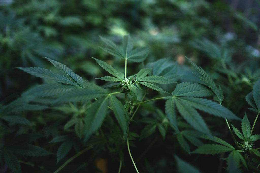 A juvenile blackmarket cannabis flower