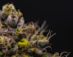 a close up of a medicinal cannabis flower